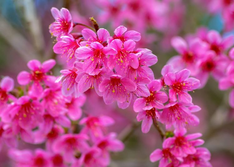 Hoa đào viet nam Photoo Flowering Plant Flower Pink Color Freshness Fragility Vulnerability  Beauty In Nature Close-up Growth Flower Head Inflorescence Focus On Foreground Blossom Day Nature No People Springtime Botany Petal Plant