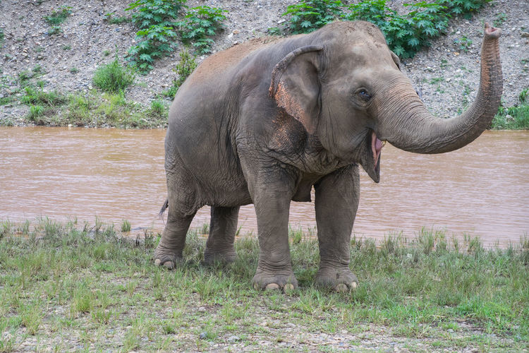 Elephant standing on grass at lakeshore