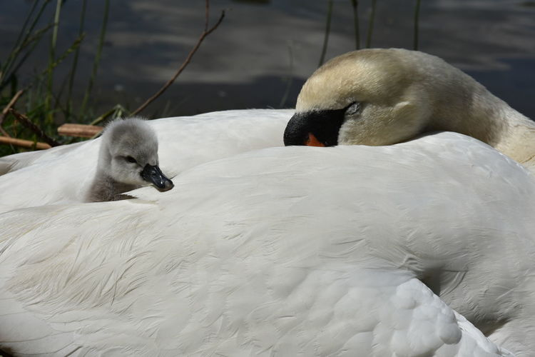 Close-Up Of Cygnet And Swan Resting By River