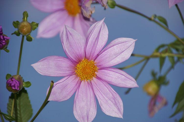 皇帝ダリア Enperor Dahlia Automn Autumn🍁🍁🍁 Autumn 2015 Flowers Flower Porn Flower Collection Nature_collection EyeEm Nature Lover EyeEm Best Shots