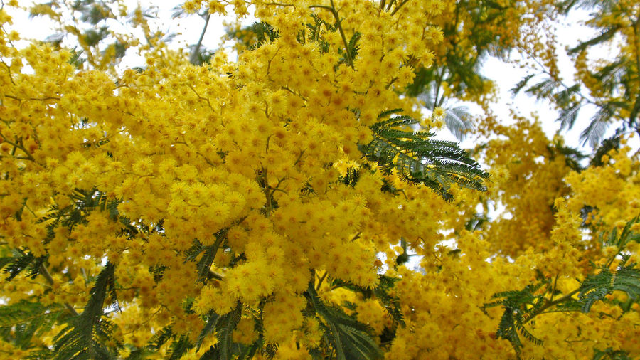Acacia Acacia Dealbata Beauty In Nature Bloom Blooming Branch Close-up Day Environment Freshness Growth Invasive Invasive Plant Invasive Species Low Angle View Nature Nature No People Outdoors Silver Wattle Sky Spring Tranquility Tree Yellow
