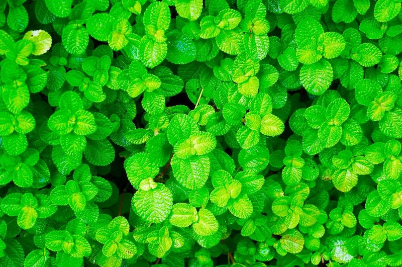 Backgrounds Biology Close-up Day Flower Fresh Full Frame Green Color Green Leaves Green Leaves Close Up Growth Healthcare And Medicine Microbiology Nature No People Outdoors Plant Plants Science