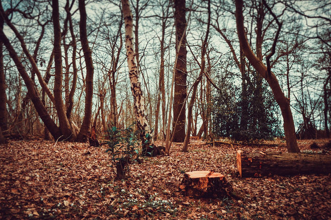 Beauty In Nature Day Felled Tree Felled Tree Surrounded By Leaves Forest Forest Trees Freshly Cut Freshly Cut Tree Stump Landscape Lots Of Leaves Nature No People Outdoors Scenics Sky Tranquility Tree Vibrant WoodLand