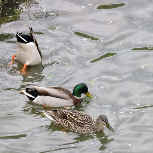 Avian Beauty In Nature Bird Close-up Day Duck Ducks Ente Floating On Water Lake Mallard Duck Nature No People Outdoors Rippled Swimming Water Water Bird Wildlife