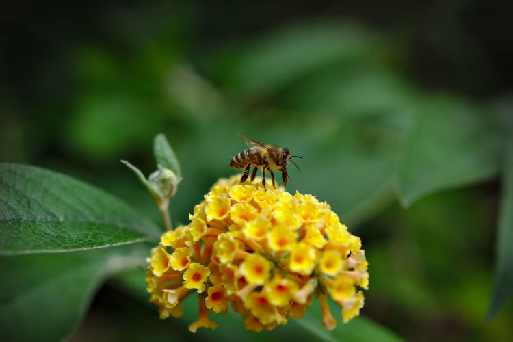 Close-up of bee pollinating on lantana camara