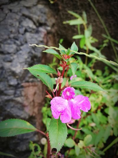 Monsoon magic Flower Flower Head Leaf Pink Color Butterfly - Insect Close-up Plant