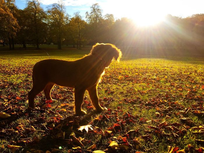 Autum Novia Scotia duck tollling retriever 01 Novia Scotia Duck Tolling Retriever Puppy Animal Domestic Animals One Animal Animal Themes Mammal Sunlight Domestic Pets Sunbeam Nature Vertebrate Tree Standing Lens Flare Dog No People Canine