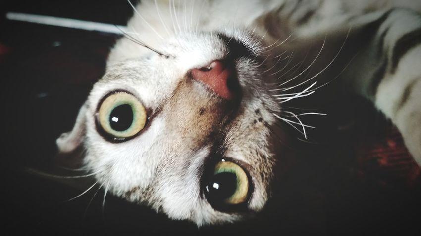 Kitten 🐱 Meow🐱 Pets Portrait Looking At Camera Domestic Cat Feline Eye Eyeball Close-up Yellow Eyes Animal Eye Snout HEAD Animal Nose Iris - Eye Lemur Animal Mouth Eyelid Animal Hair Vision