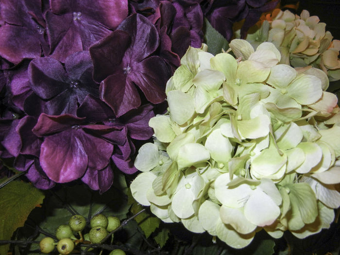 Two bright Hydrangea flowers blooming. One in white and the other in a vibrant dark purple. Backgrounds Beauty In Nature Blooming Blossom Botany Close-up Elégance Flora Flower Flower Head Freshness Hydrangea In Bloom Nature Purple White White Flower