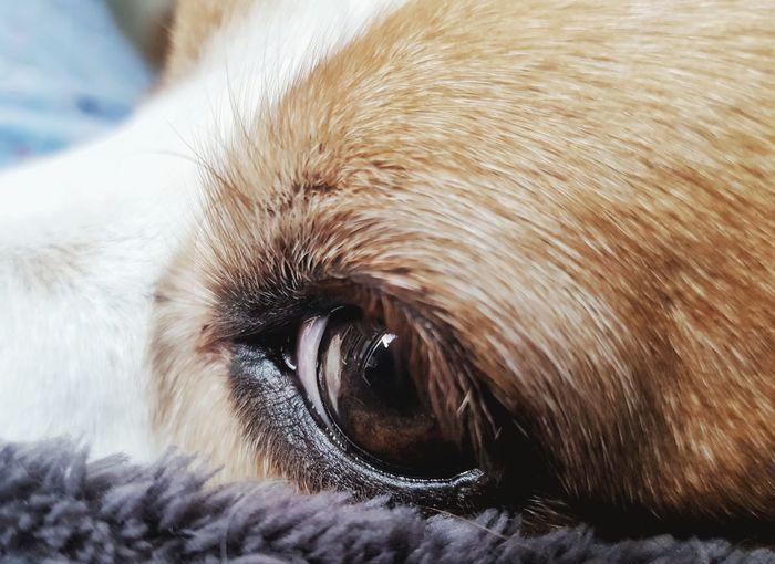 Beagle Beaglier
