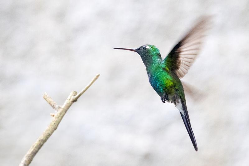 Close-Up Of Cuban Hummingbird