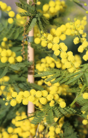 branch of yellow mimosa in bloom in spring 8th March Love Lovers Mimosa Flowers Paris Blossom Blossoming  Festa Della Donna Festa Della Mamma Festa Delle Donne Flower Flowers In Love March Mimosa Mimosa Tree Mimosas Otto Marzo Spring Springtime Yellow