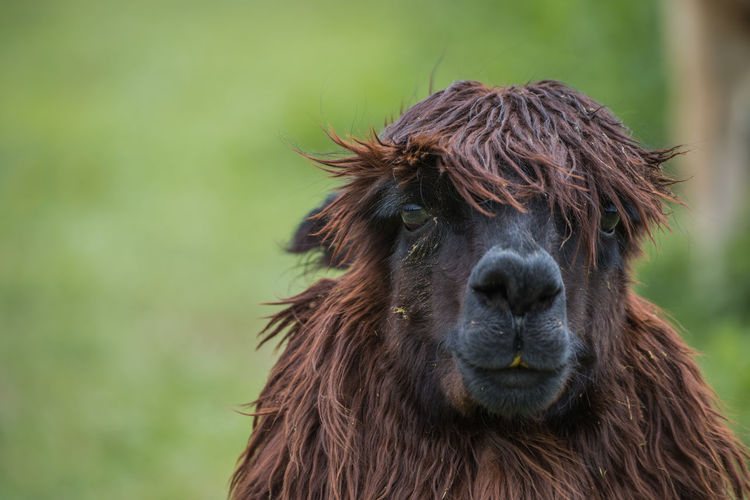 Close-up portrait of alpaca