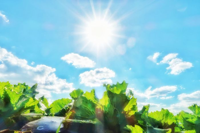 レタス レタス畑 畑 太陽 ソラ 空 Sky Sunlight Plant Lettuce Lettuce Field Cloud - Sky Low Angle View Sun Growth Nature Plant Nature EyeEmNewHere Green Color Beauty In Nature Leaf Blue Freshness Beauty In Nature