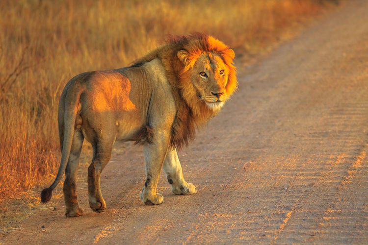 Portrait of lion standing on dirt road during sunset