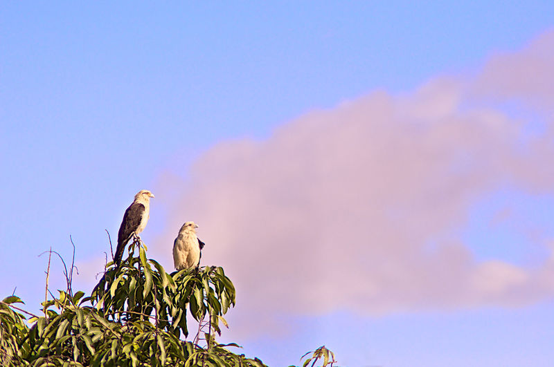 Gavilan Animal Animal Family Animal Themes Animal Wildlife Animals In The Wild Bird Blue Cloud - Sky Copy Space Day Eagle Gavilan Group Of Animals Low Angle View Nature No People Outdoors Perching Plant Sky Tree Two Animals Bird Of Prey Beauty In Nature Low Angle View Nature Tree Vertebrate Animals In The Wild