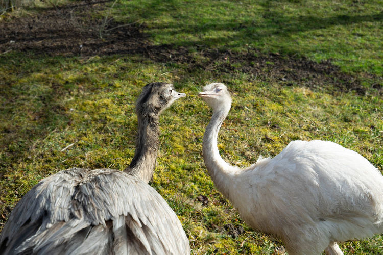 Emus Emu Emus