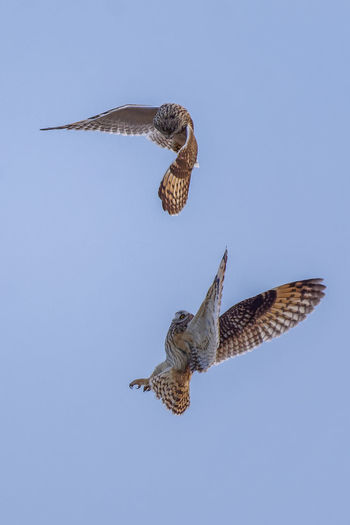 Short eared owls fighting Owl Owls Owls💕 Bird Birds Birds Of EyeEm  Birds_collection Birds🐦⛅ Birds In Flight Nature Nature_collection Wildlife Animal Wildlife Flying Animal Animal Themes Animals In The Wild Spread Wings Vertebrate Mid-air Bird Of Prey No People Outdoors Short Eared Owl