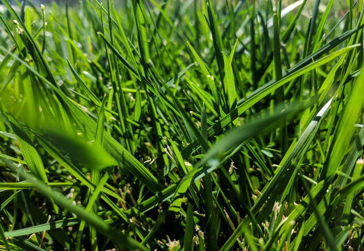 Green Color Nature Growth Grass Plant Day Beauty In Nature Outdoors No People Full Frame Close-up Green Grass Lawn Ground Level ViewGrass Ground Groundlevel Plant Growth Green Grow The Week On EyeEm Outdoors Photograpghy  Backgrounds Perspectives On Nature