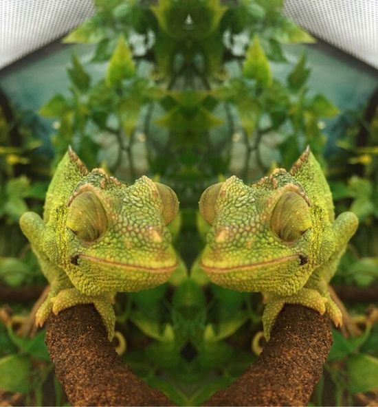 Blending in Reptile Reptiles Green Color Green Green Nature Chameleon Exotic Exotic Creatures Cool