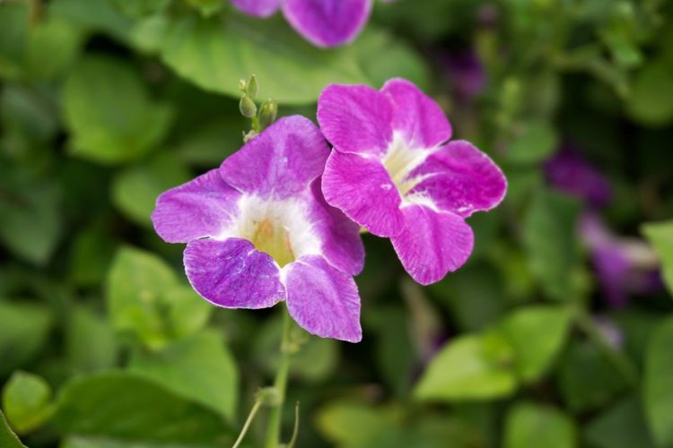 purple asystasia gangetica flower in nature garden Baya Asystasia Gangetica Beauty In Nature Blooming Close-up Day Flower Flower Head Focus On Foreground Fragility Freshness Ganges Primrose Growth Leaf Nature No People Outdoors Periwinkle Petal Plant