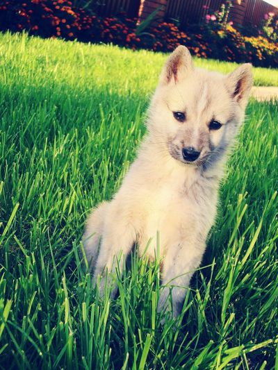 My beauty)) Pets Dogs Cute Pets Siberian Laika Laika Nice Puppy Puppies Cute Dog  Sweety