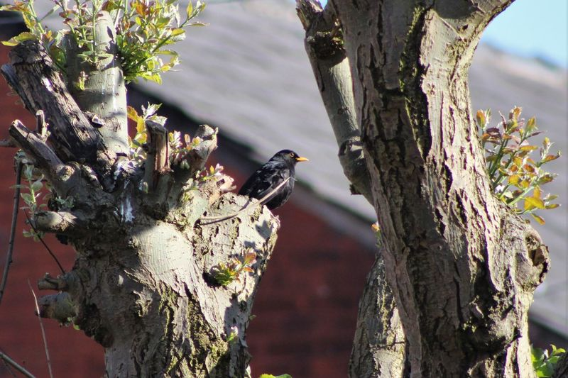 Low Angle View Of Blackbird Perching On Tree