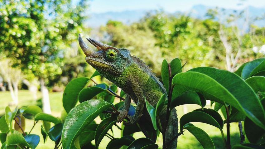 Reptile Lizard Animal Wildlife Green Color Plant One Animal Nature Leaf Animals In The Wild Iguana Animal Themes No People Outdoors Day Close-up Tree