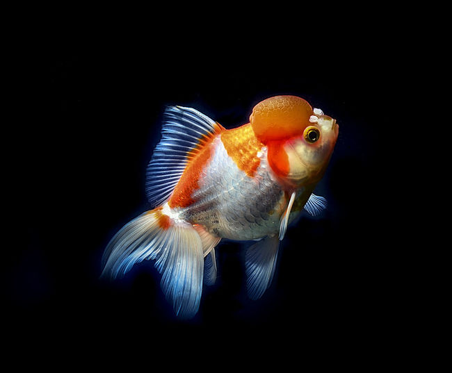 Dutch lionhead Fish Dutch Lionhead Water Black Background Animals In The Wild Underwater Animal Wildlife Sea Animal One Animal Animal Themes Marine Tail Fin Orange Color No People Animal Eye Close-up Goldfish Transparent Swimming Indoors