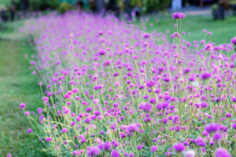 Close-up of fresh pink flowers in field