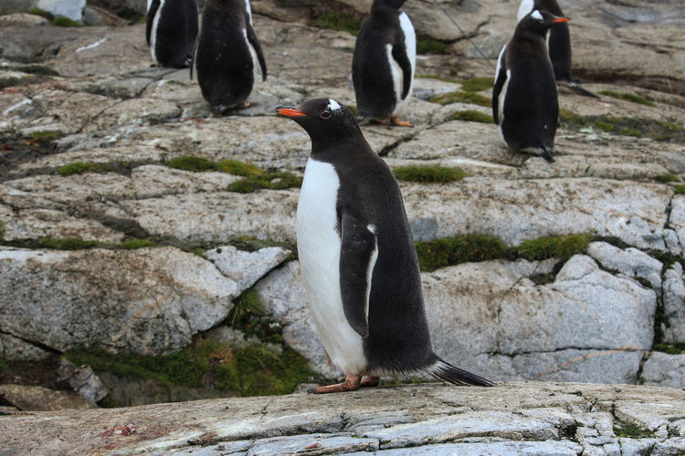 Animal Themes Animal Animal Wildlife Penguin Animals In The Wild Bird Vertebrate Solid Rock Rock - Object Group Of Animals No People Nature Full Length Day Land Outdoors Focus On Foreground Pebble Antactica Antarctica Travel Travel Destinations Adventure Free Animals