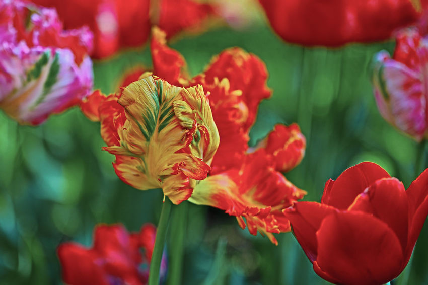 Hello, Spring! Surreal Parrot Tulips in Italy Tulipss Surreal Surrealisticphotography Surrealism Photography Tulip Parrot Tulips Orange Red Pink Colors Colorful Joy Botanical Garden Italy Springtime Springtime Flowers Green Color Fresh Texture Close-up Selective Focus Luxurious Nature No People Park Flower