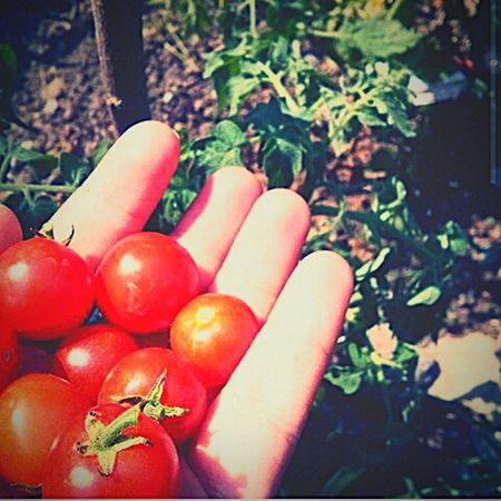 Tomato Taking Photos Fingers Nature