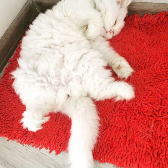 Persian Cat  Cat Lovers Cat Sleeping
