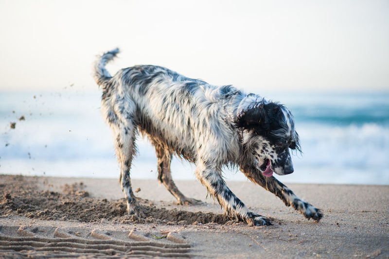 english setter digging in the beach on sunset Animal Animal Mouth Animal Themes Beach Canine Day Dog Domestic Domestic Animals Horizon Over Water Land Mammal Motion Nature No People One Animal Outdoors Pets Sand Sea Sky Vertebrate Water