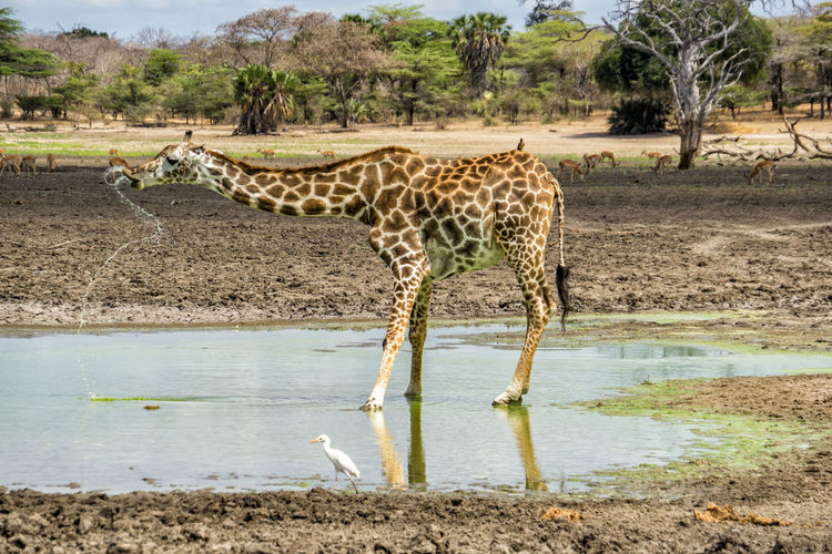 Trinking giraffe in Selous National Park Animal Animal Themes Animal Wildlife Animals In The Wild Water Mammal Giraffe Nature Vertebrate No People Day Environment Group Of Animals Lake Drinking Plant Land Tree Outdoors Herbivorous Mud Giraffe Tanzania National Park Selous