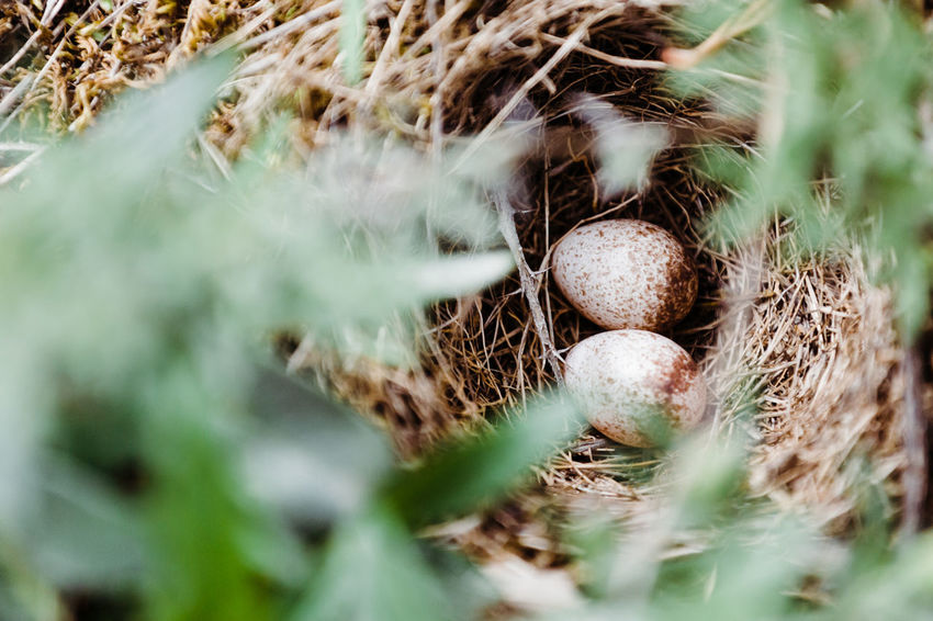 Animal Egg Animal Nest Close-up Day Dry Egg Focus On Background Food Food And Drink Fragility Grass Growth High Angle View Land Nature No People Outdoors Plant Selective Focus Vulnerability