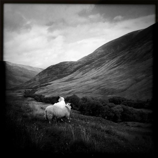 Pictures from Glencoe Valley (Hipstamatic) XVII Glencoe Scotland Square Animal Themes Beauty In Nature Cloud - Sky Domestic Animals Grass Hipstamatic Landscape Lawoe Mountain Nature No People Outdoors Pets Sheep Sky Tranquility