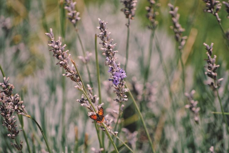 Close-up of insect on purple flowering plants on field