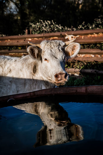 Portrait of horse drinking water