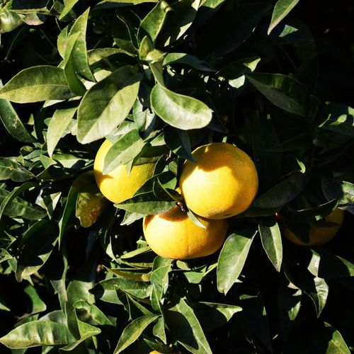 Oranges on the tree. Oranges Orange Oranges On The Tree Oranges On Tree Citrus Fruit Fruit Tree Juicy Green Color Orange Color Branch Beauty In Nature Nature Leaf Leaves Branches EyeEm Gallery EyeEm Best Edits EyeEm Pictures EyeEm Pic Eyeem Photo EyeEm Best Pic Eyeem Best Pictures EyeEm Best Photography Eyeem Photography