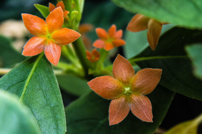 This interesting plant has large, showy and persistent calyces, which should be left on the plant after flowering for their decorative effect. http://www.gesneriads.info/genera/cobananthus-calochlamys/ Beauty In Nature Blooming Close-up Flower Flower Head Leaf Orange Color Petal