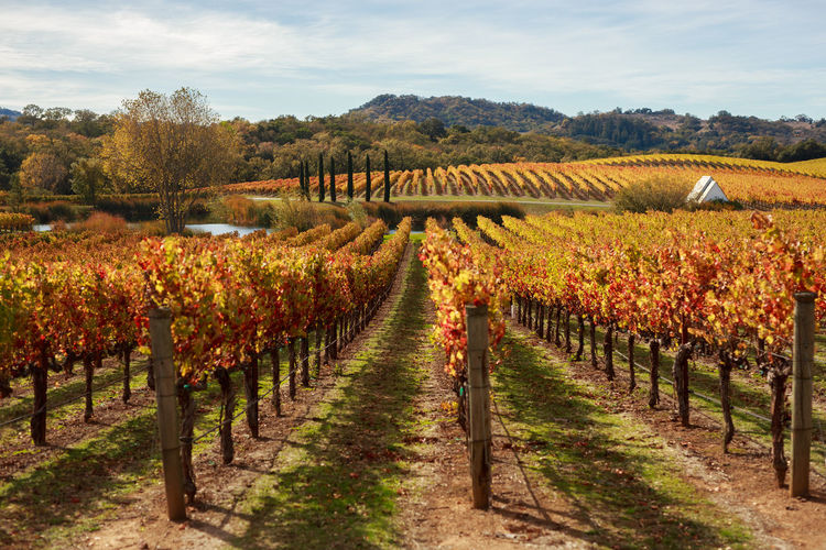 Pastoral scene of Napa Valley vineyards turned orange and red from Autumn Autumn Autumn Colors California Composition Day Fall Fence Field Footpath Grapes Grass Landscape Leading Napa Valley Narrow Perspective Rural Scene Tree Vines Vineyard Wine Winery