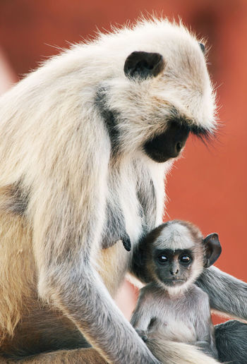 Close-up of langur family at jaigarh fort