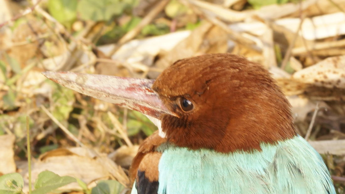 The little Kingfisher Animal Themes Animal Wildlife Animals In The Wild Bird Close-up Day Focus On Foreground Kingfisher Collection Nature No People One Animal Outdoors