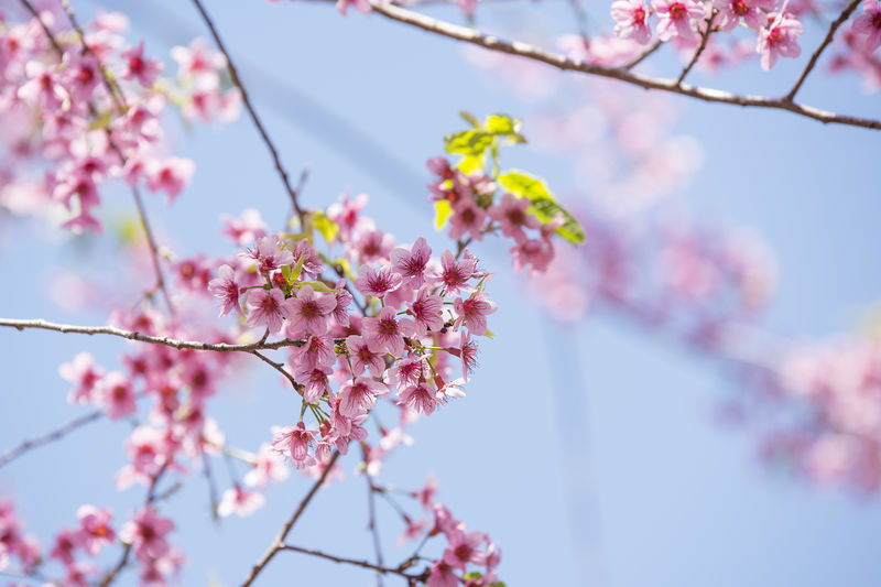 Spring season flower queen tiger in a beautiful landscape in the background Flowering Plant Flower Plant Fragility Beauty In Nature Vulnerability  Freshness Growth Close-up Pink Color Nature Blossom Springtime No People Day Flower Head Tree Outdoors Cherry Blossom Cherry Tree