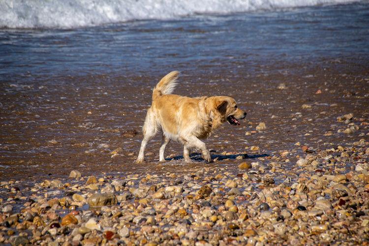 Golden retriever dog on a pebble beach