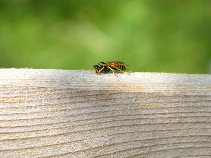 Animal Antenna Animal Themes Beauty In Nature Bee Close-up Day Focus On Foreground Insect Nature No People Outdoors Selective Focus Wasp Wildlife Wood Green