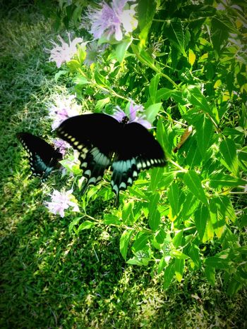 Granny's butterfly bush is awesome! Peace EyeEm Nature Lover Tennessee Therapy 🌳 Relaxe