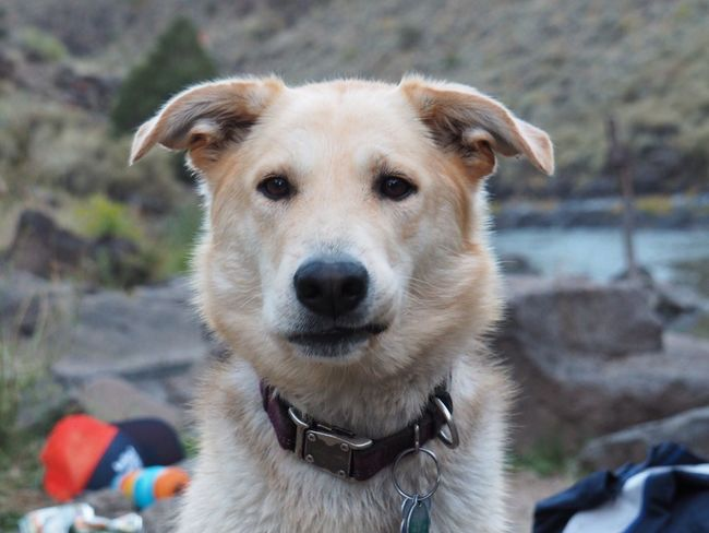 Sundog on Rio Grande: Pet Portraits Shepsky Dogface Dog Rescue Dog Pets Looking At Camera Outdoors